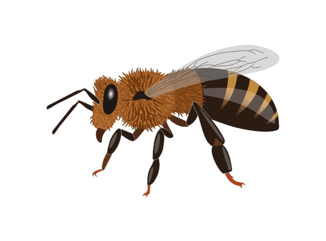 Buckfast Honeybee