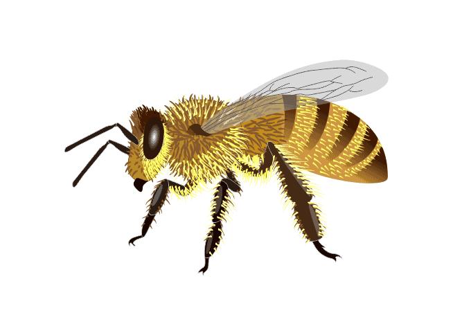 Carniolan Bee - Carniolan Bee (apis mellifera carnica)