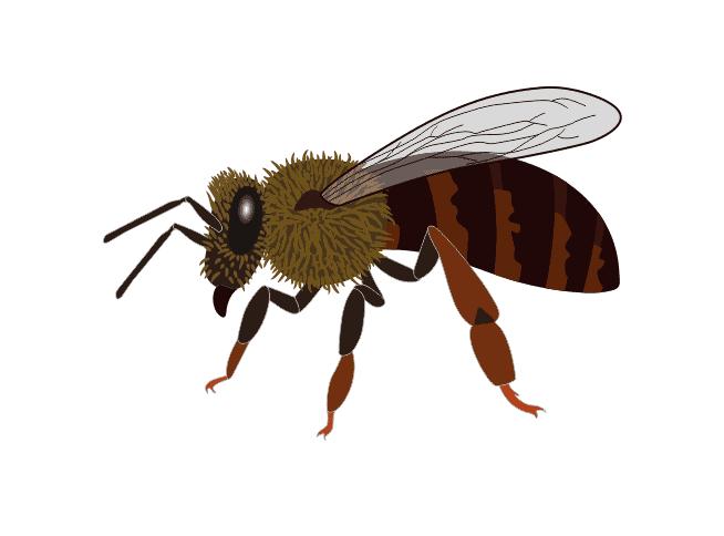 Caucasian Honeybee - Caucasian Bee (apis mellifera caucasica)