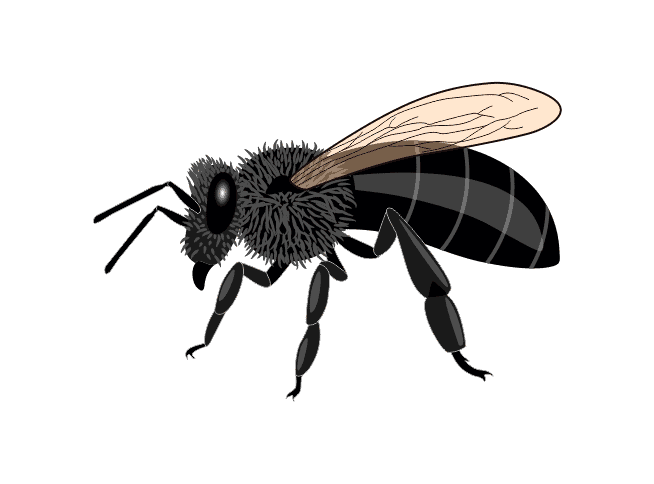 German Honeybee (apis mellifera mellifera)