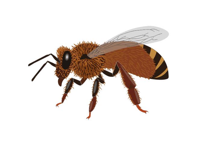 Italian Honeybee - Apis mellifera ligustica