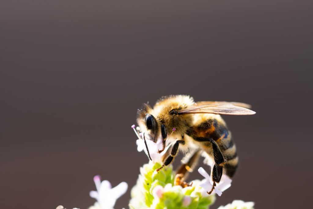 Choosing the best honey bee for beekeeping